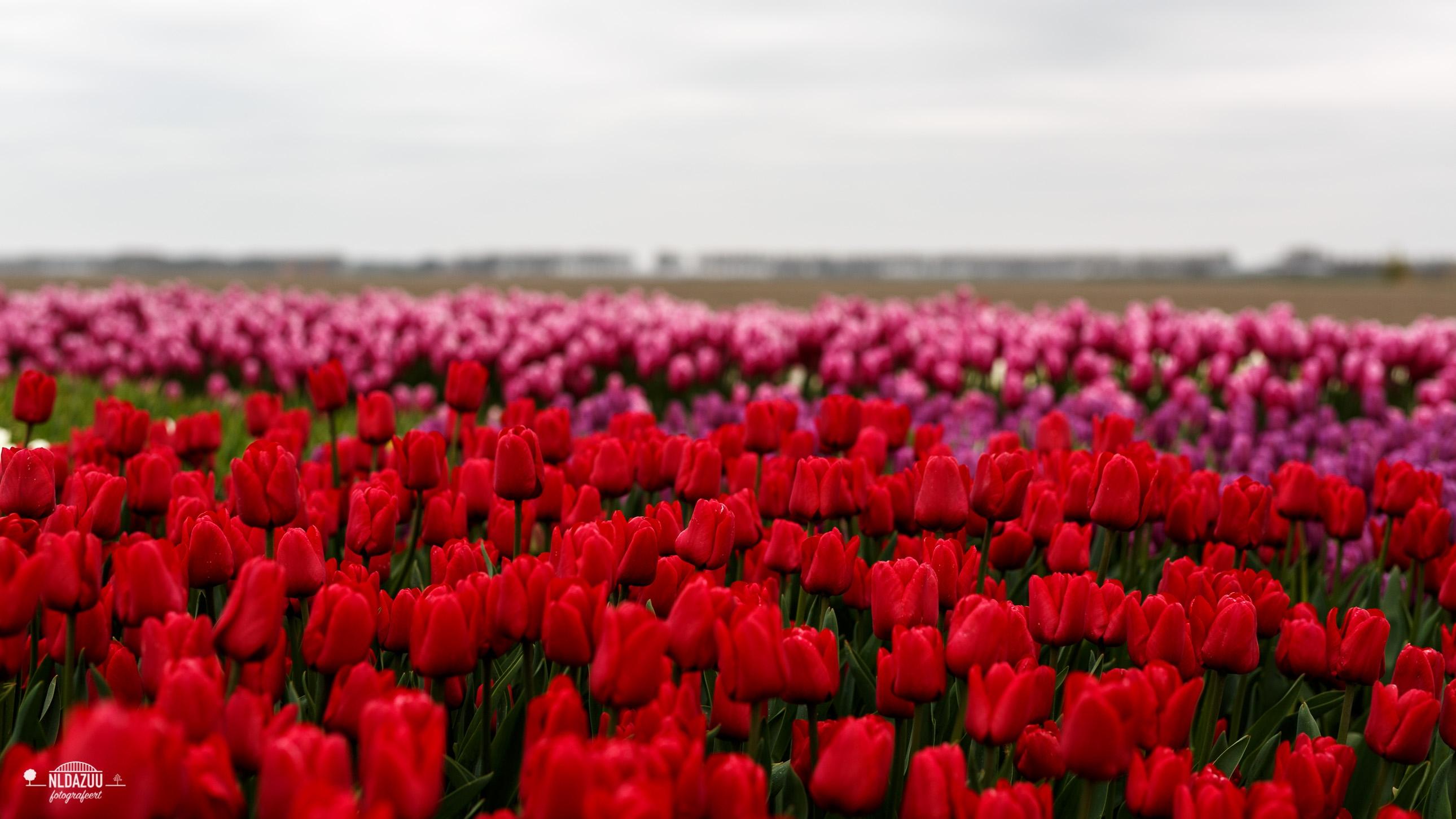 nldazuu 50 mm. challenge Tulpenfestival