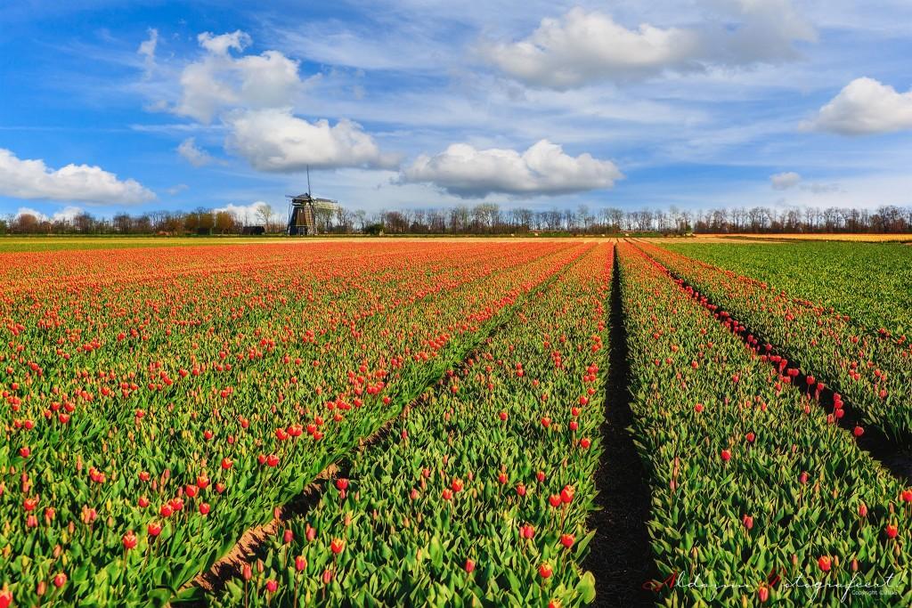 Molen-en-Tulpen