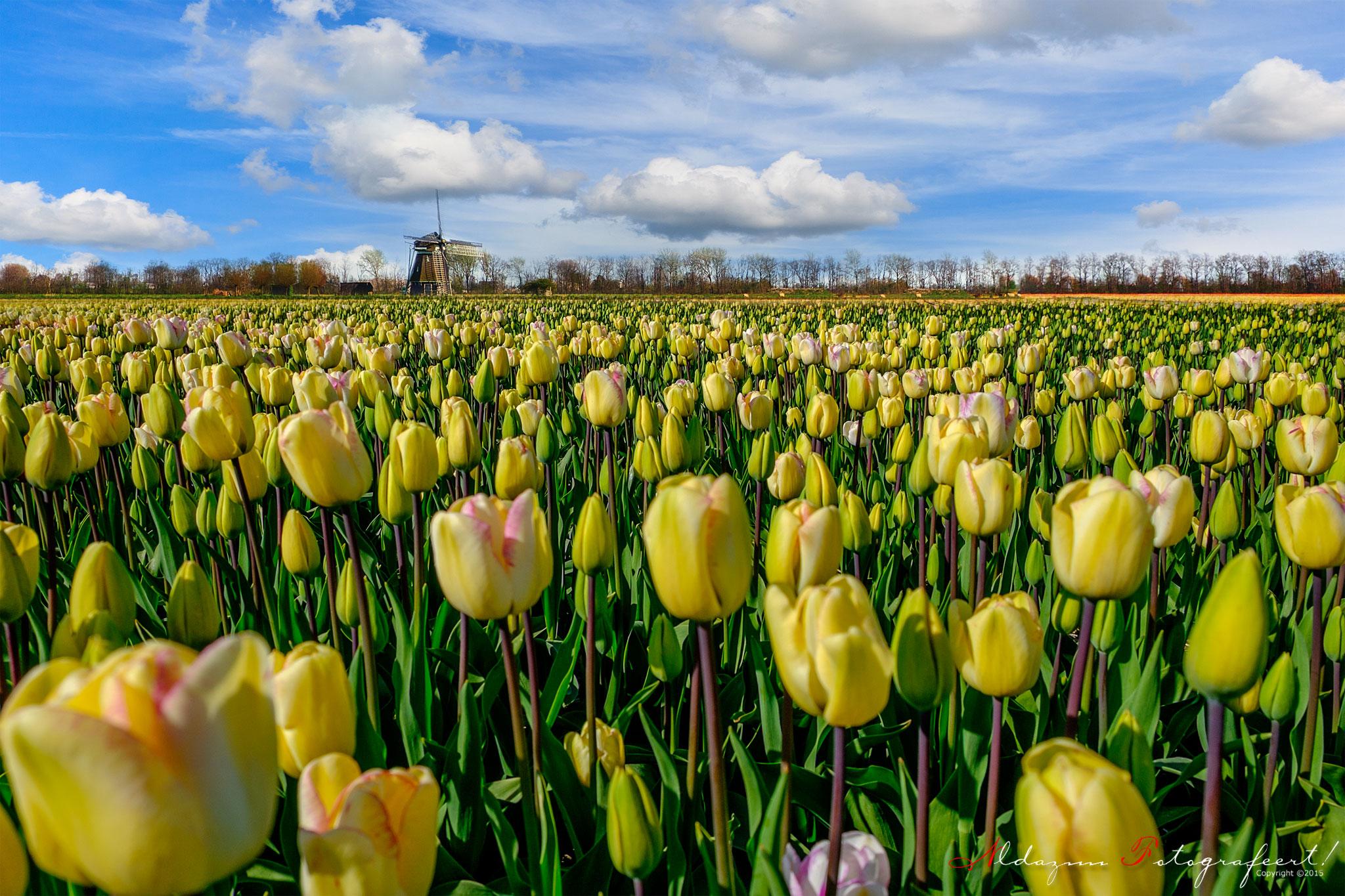 Gezocht: tulpenveld met molen