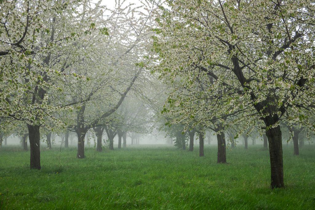 bloesemtijd, boomgaard en regenbui