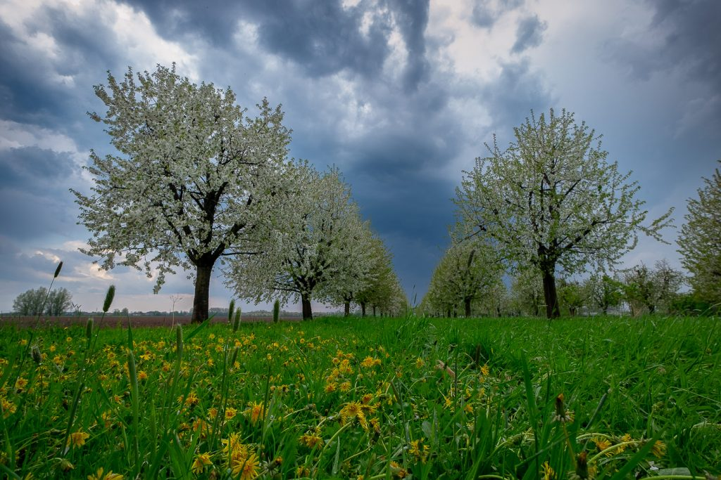 bloesem en boomgaard