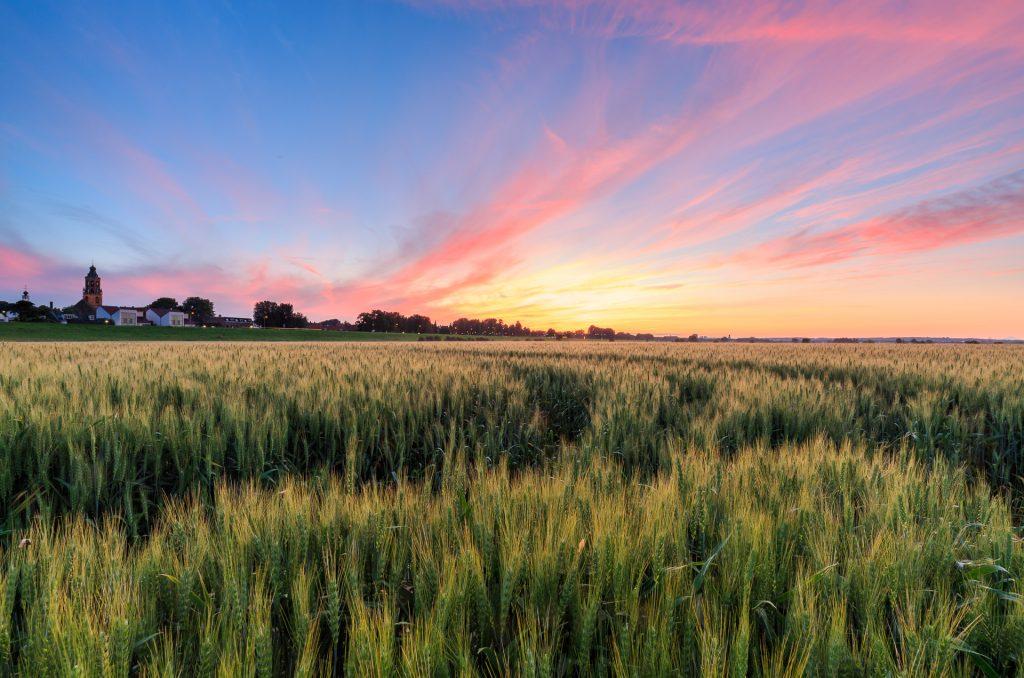 Huissen, graanveld, zomers landschap