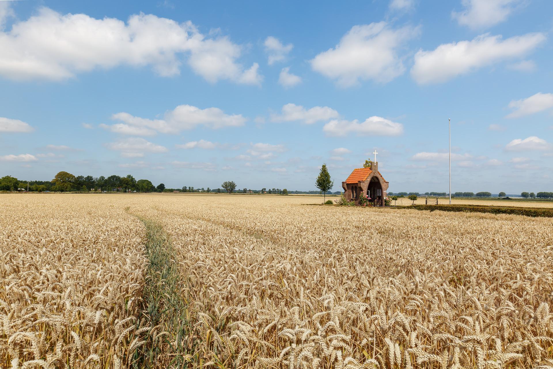 graanveld, zomers landschap