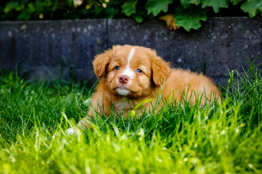 Toller, Nova Scotia Duck Tolling Retriever