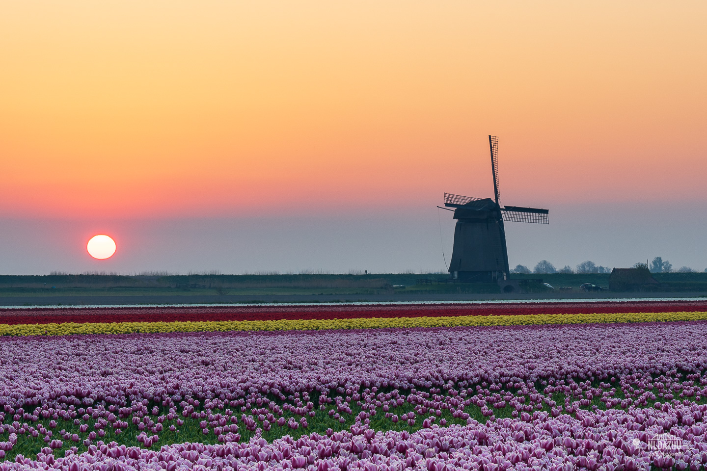 Sunrise, tulips and a windmill