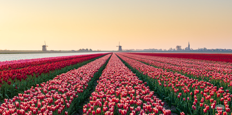 molen, tulpen en een kerkje in de Beemster