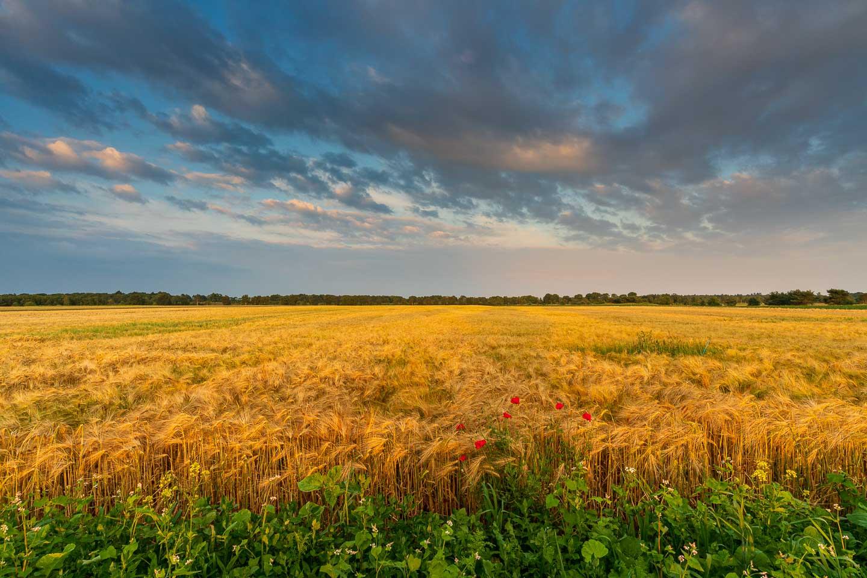 Graanveld tijdens het gouden uur