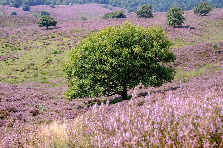 Gesloten heide landschap en een solitaire boom