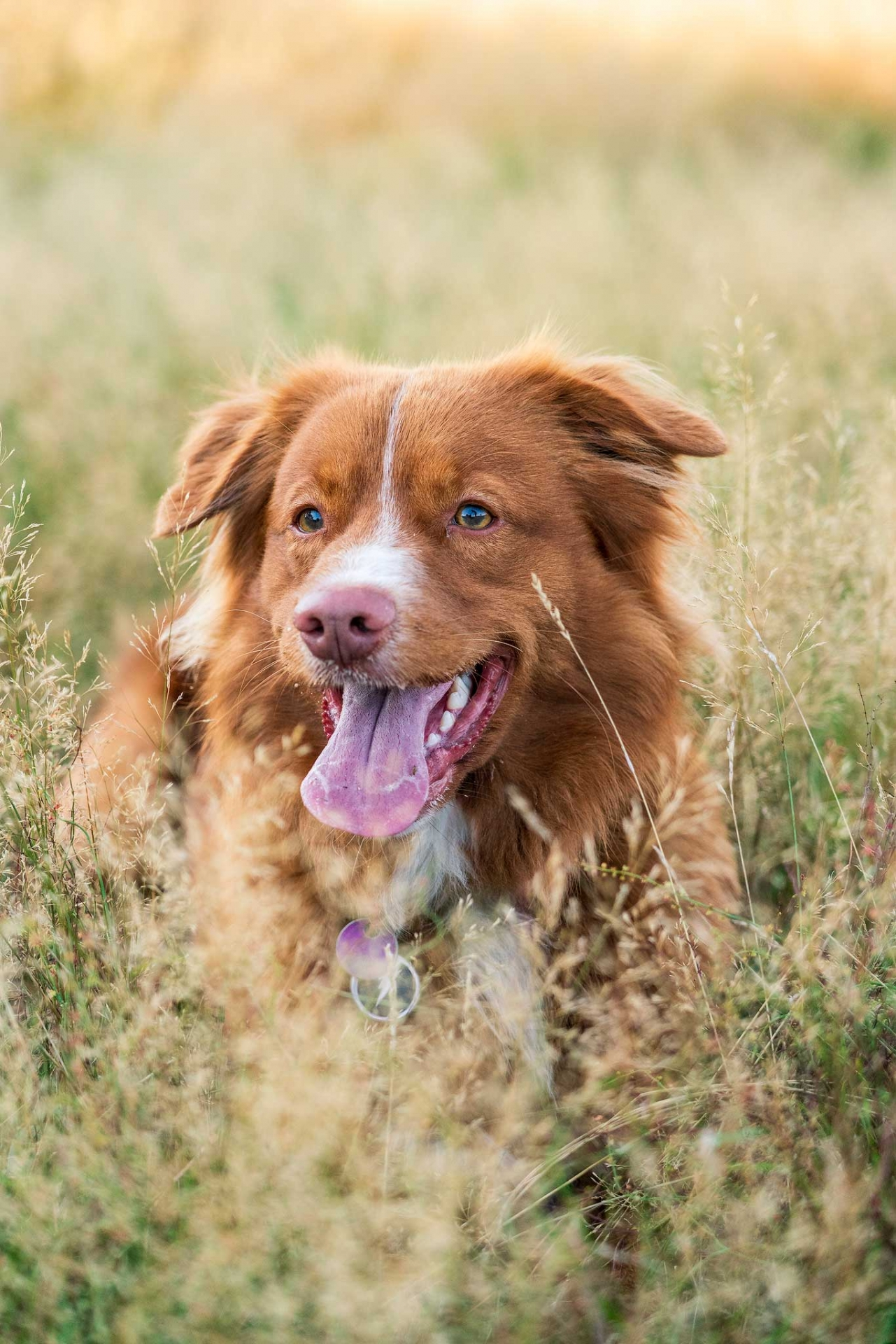 Nova Scotia Duck Tolling Retriever, Kashia