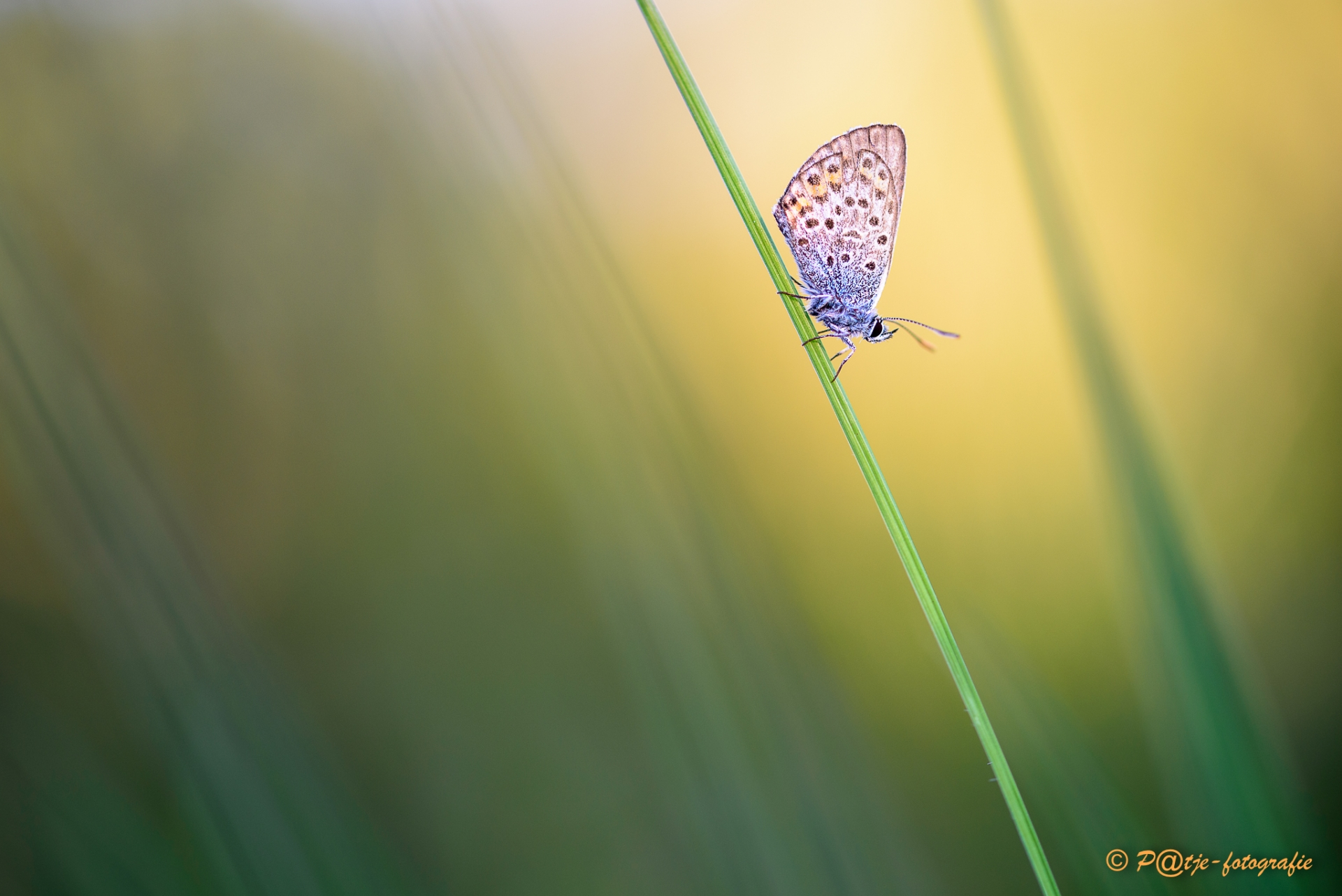 Heideblauwtje vlinder