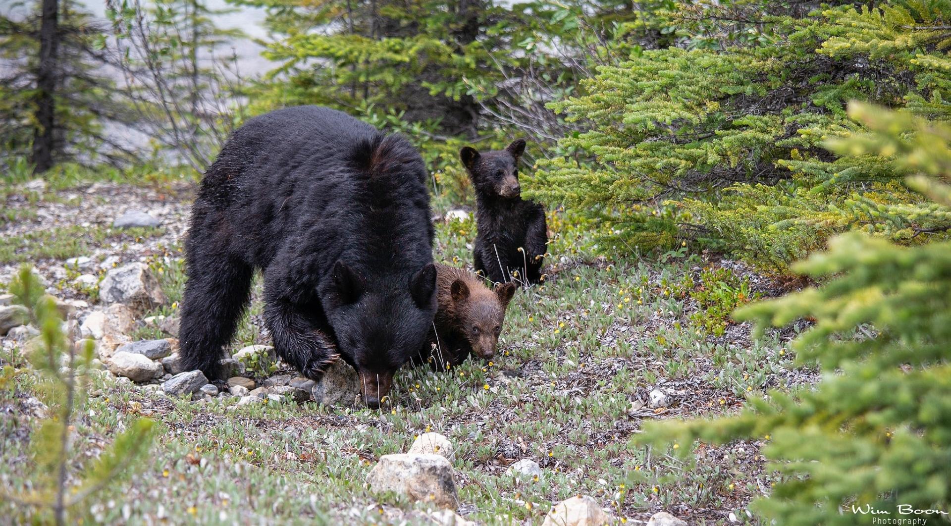 3 zwarte beren Wim Boon