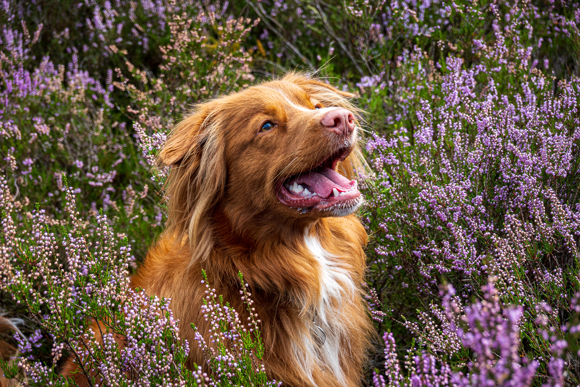Kashia Nova Scotia Duck Tolling Retriever