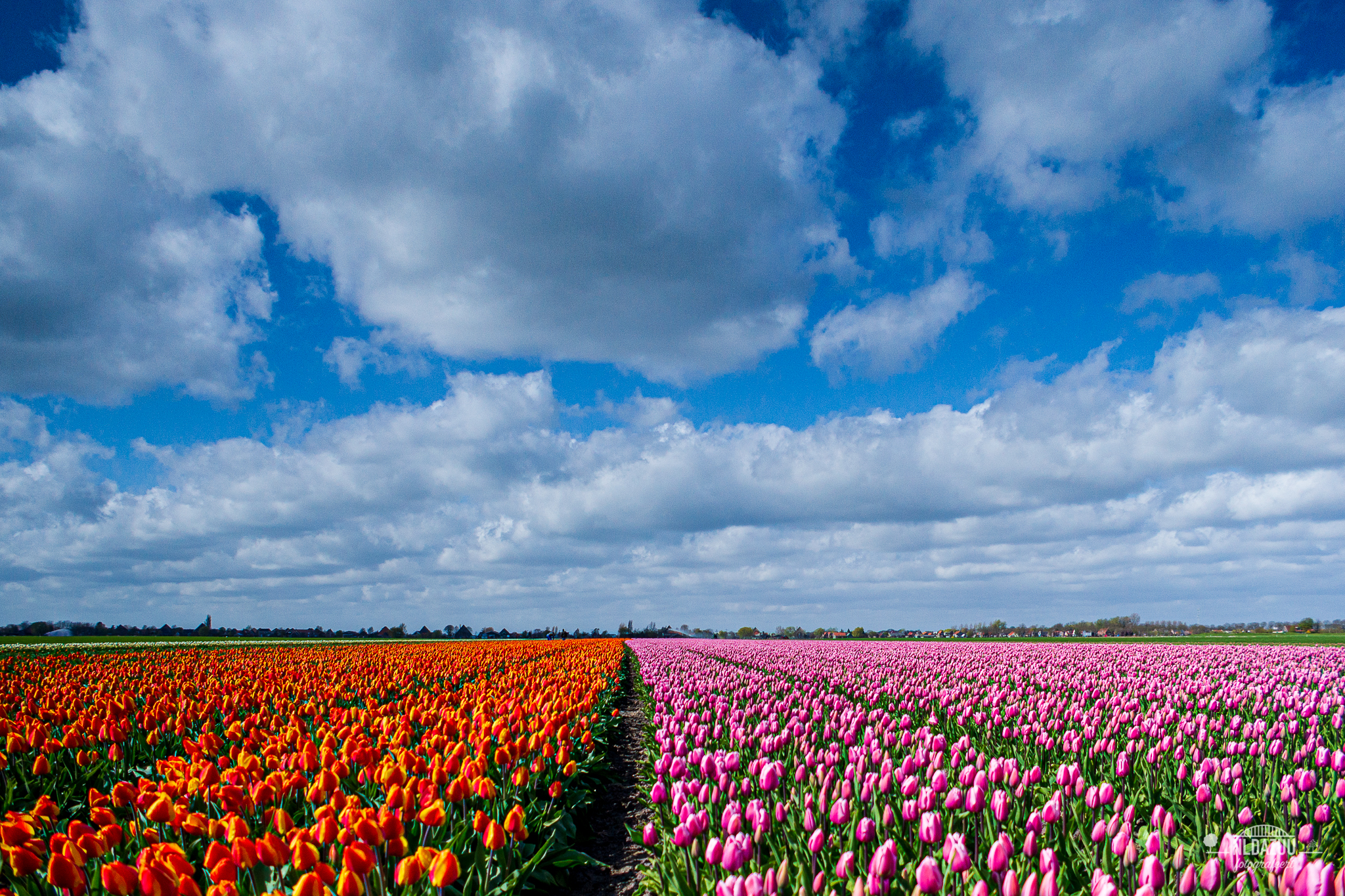 tulpenveld in Noord-Holland anno 2010