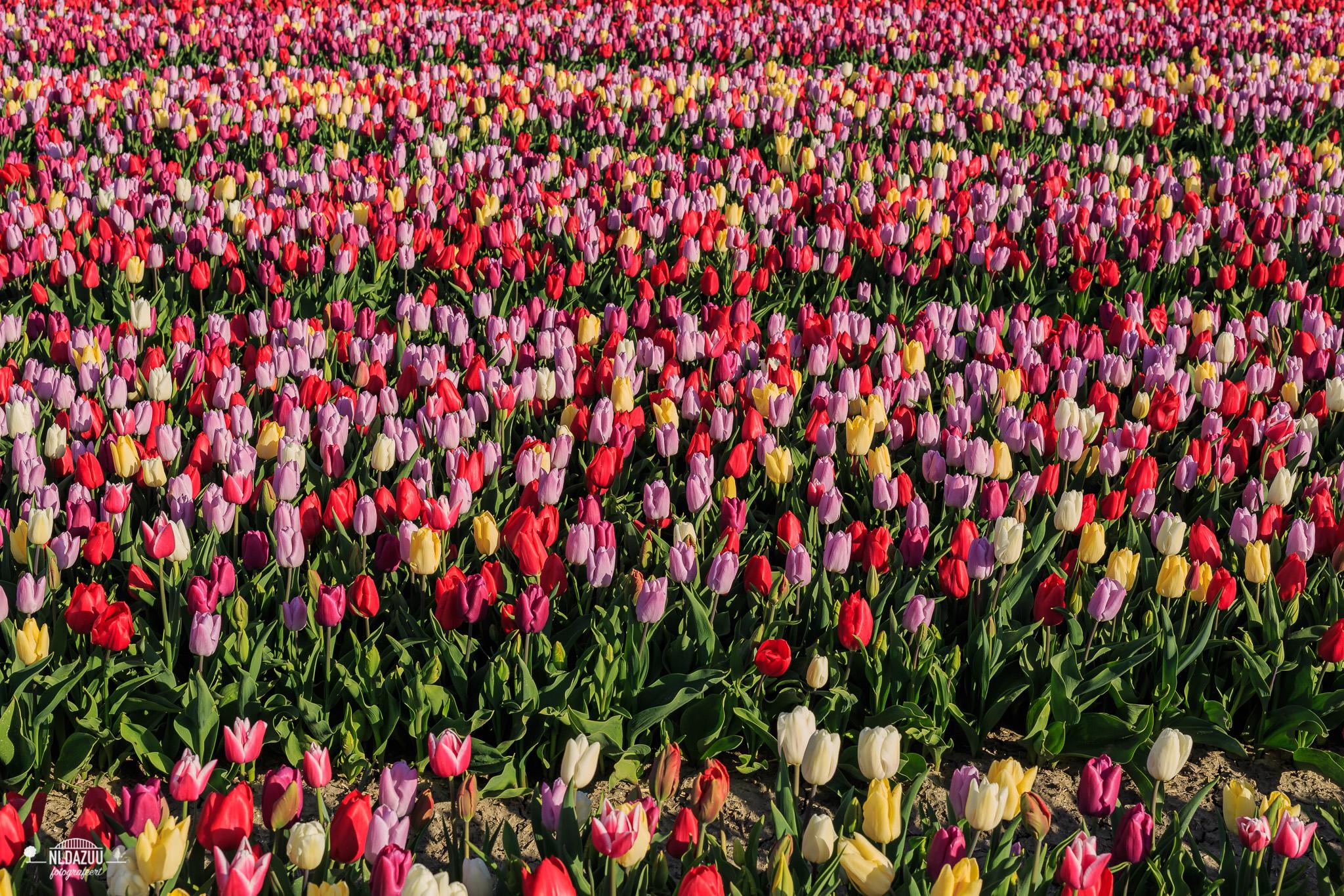Dag 40: Tulpen